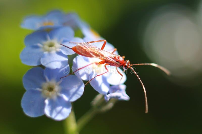 Röd Ichneumon Wasp på blåa blommor royaltyfria bilder
