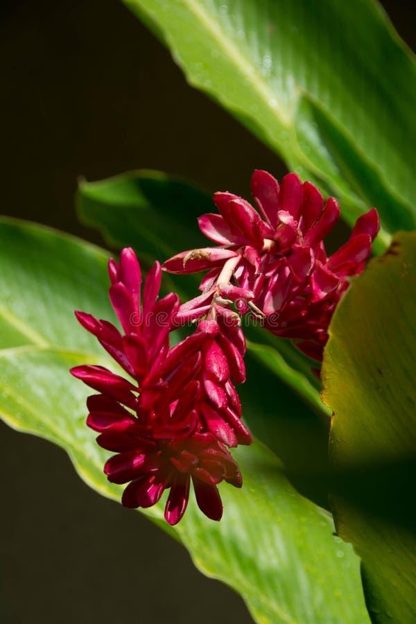 Röd ingefära, hawaiansk blomma royaltyfri foto