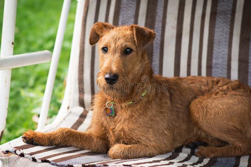 Röd irländsk terrier Hund husdjur royaltyfri foto