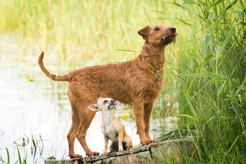 Röd irländsk terrier Hund husdjur med chihuahuaen arkivfoton
