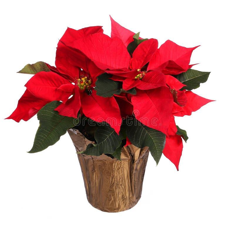 Röd isolerad julstjärnablomma Julblommor arkivfoton