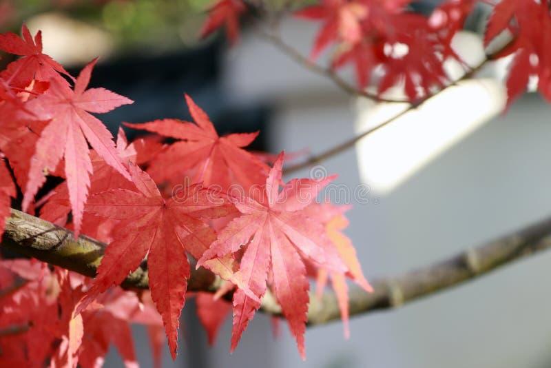 Röd japansk lönnlöv på trädet med solljus Sidorna ändrar färg från gräsplan till guling, orange och rött arkivfoto