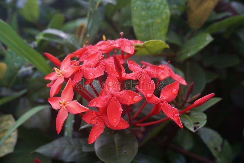 Röd jasmin för västra indier Ixora Cultivars Chinensis Ixora royaltyfria foton