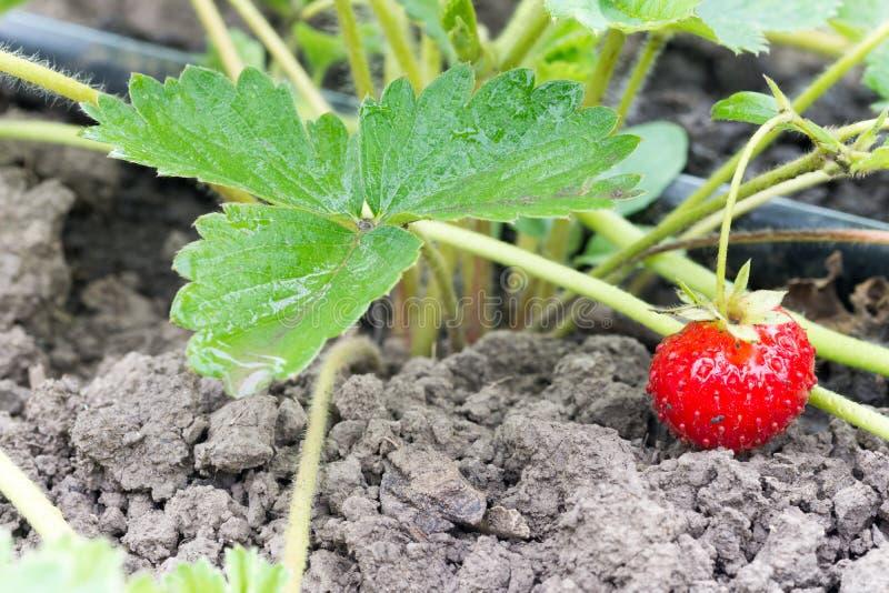 Röd jordgubbe i trädgården royaltyfria foton