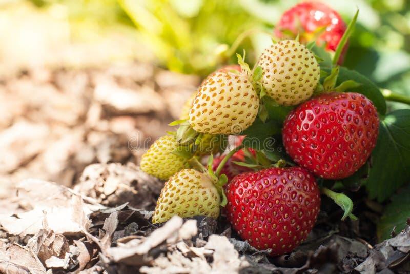 Röd jordgubbe och omogna vitfrukter på en jordgubbebuske som växer på en säng fotografering för bildbyråer