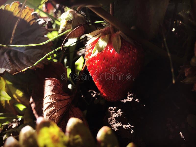 Röd jordgubbefärg royaltyfri fotografi