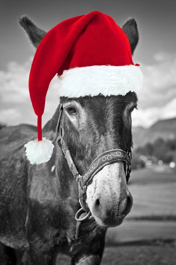 Röd julhatt på en svartvit åsna, roligt hälsningkort royaltyfri bild