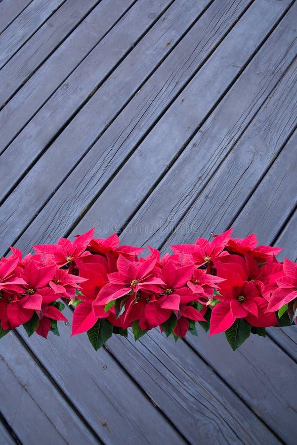 Röd julstjärnajul blommar på svart wood bakgrund arkivfoton