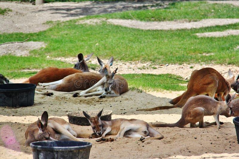 Röd känguru i den Assiniboine zoo, Winnipeg, Manitoba, royaltyfri bild