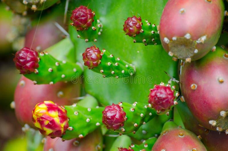 Röd kaktusfrukt för taggigt päron i en tropisk botanisk trädgård fotografering för bildbyråer