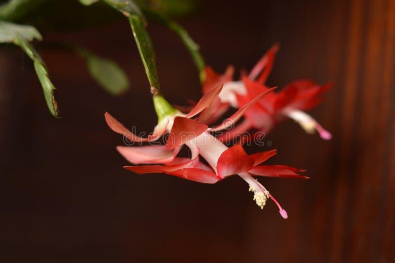 röd kaktusjul arkivfoto