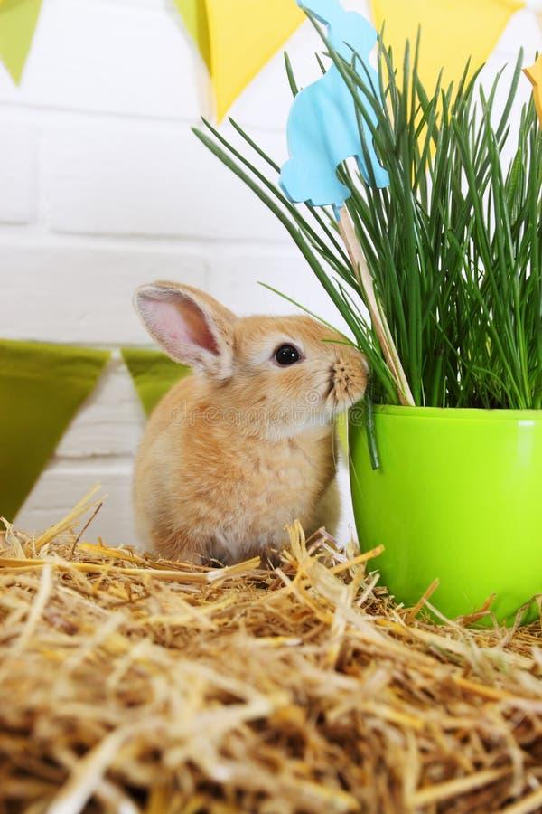 Röd kanin för påsk royaltyfria foton