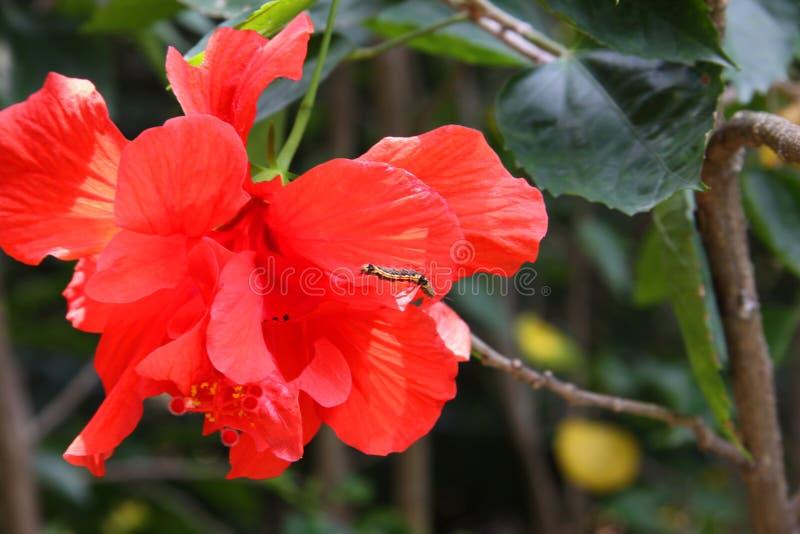 Röd kapock, gemensam bombaxblomma, med larven på den oavkortad blom arkivfoton