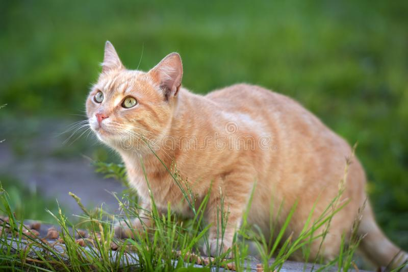Röd katt bland det gröna gräset arkivfoton