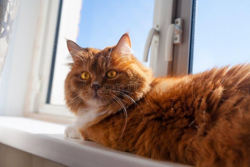 Röd katt ligger på fönsterluckan Ginger kitty ligger på fönstret i solljus Fett fluffy katt med bruna ögon ser man på arkivfoton