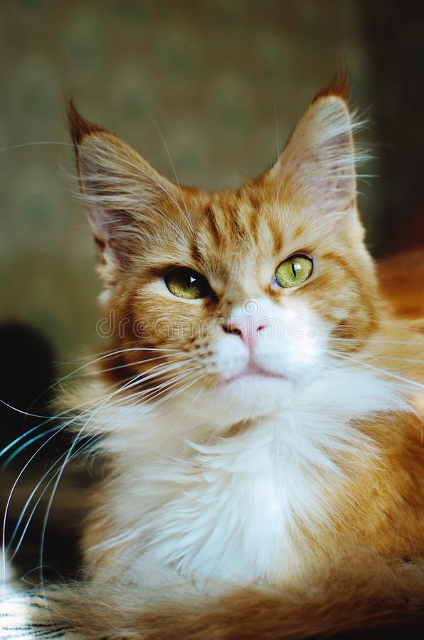 Röd katt Maine Coon royaltyfri foto
