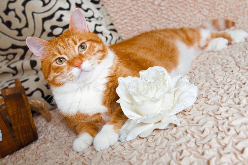 Röd katt och vitros royaltyfria foton