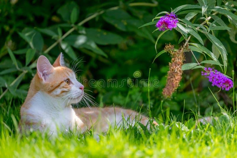 Röd katt som ligger i gräset royaltyfri foto