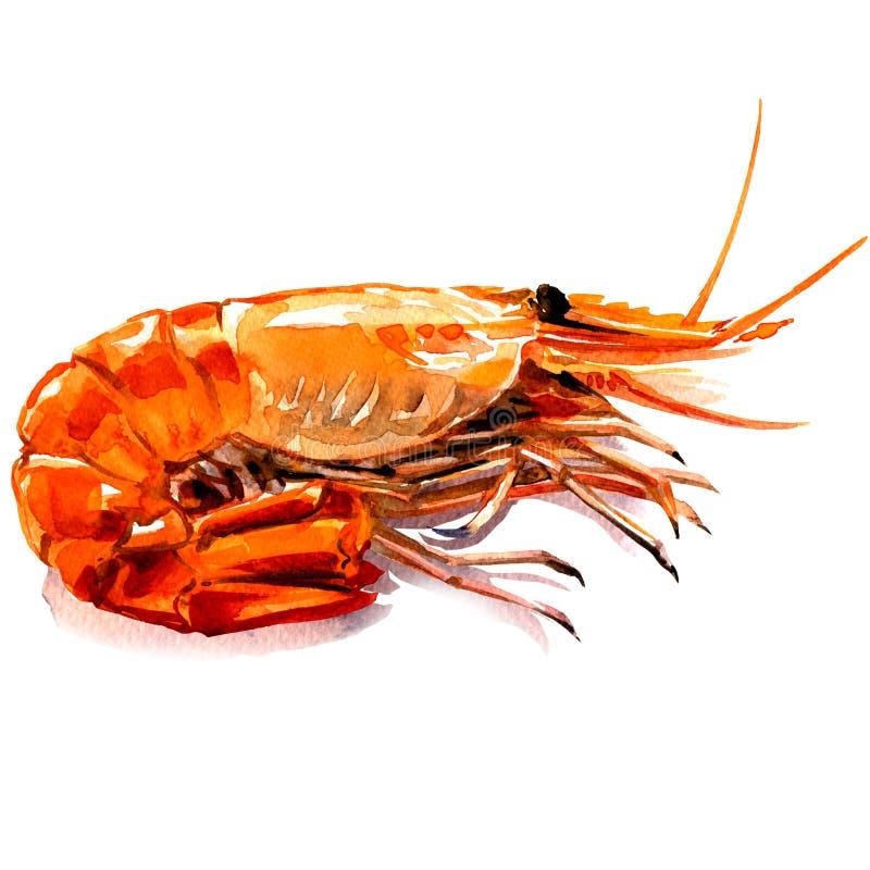 Röd kokt räka, lagad mat tigerräka, havs- ingrediens som isoleras, vattenfärgillustration på vit vektor illustrationer