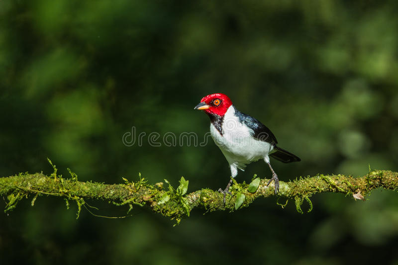 Röd korkad kardinal royaltyfri fotografi