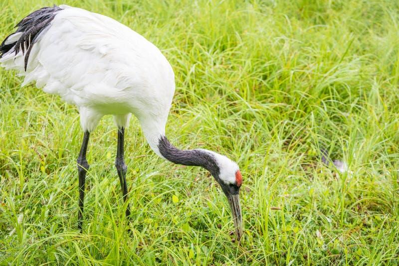 Röd-krönade Crane Feeding arkivbilder