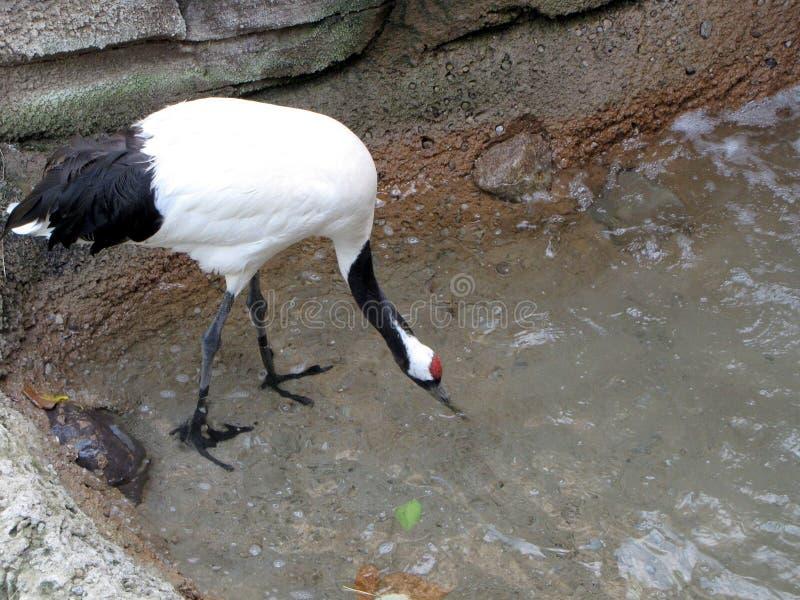 Röd-krönat Crane Drinks vatten royaltyfri bild