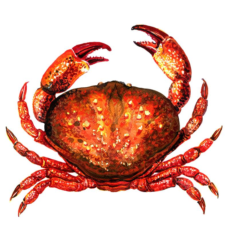 Röd krabba, ny skaldjur eller skaldjurmat, isolerad bästa sikt, vattenfärgillustration på vit vektor illustrationer