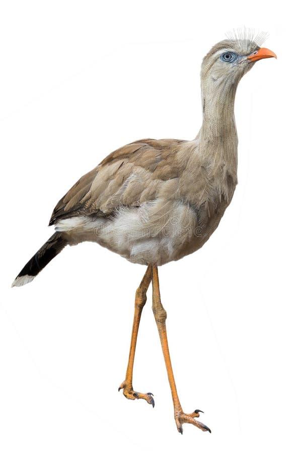 Röd långbent seriemafågel royaltyfri foto