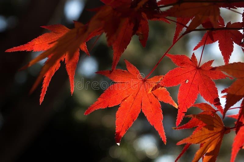 Röd lönn i JAPAN royaltyfri foto