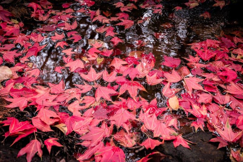 Röd lönn på vattenström arkivbild