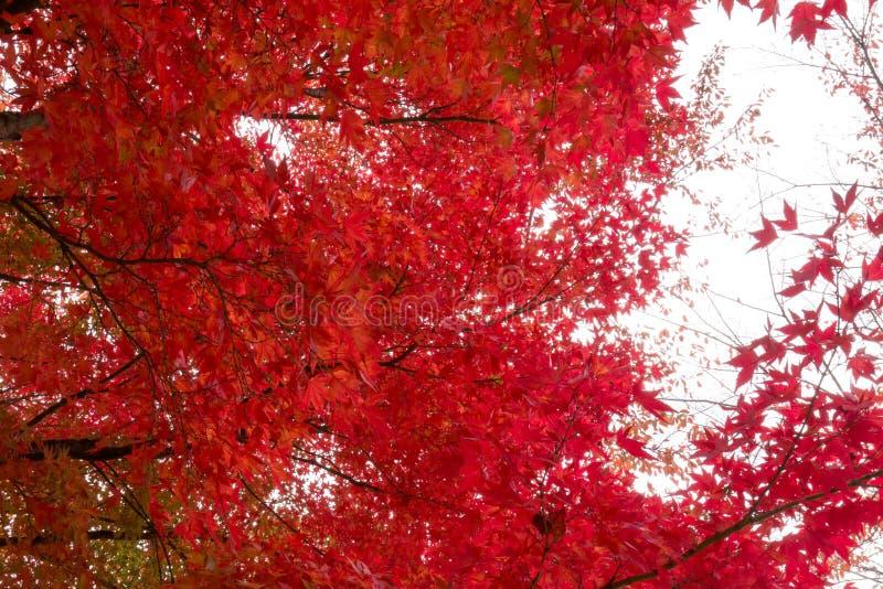 Röd lönnlöv i Japan under Autumn Season mellan September till November varje år arkivfoto