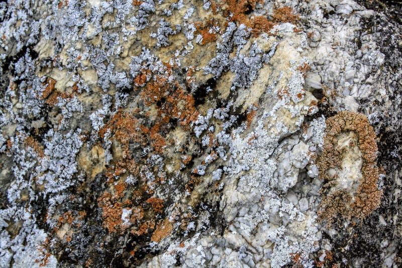 Röd lav på en grå sten Naturlig organisk bakgrund royaltyfri bild