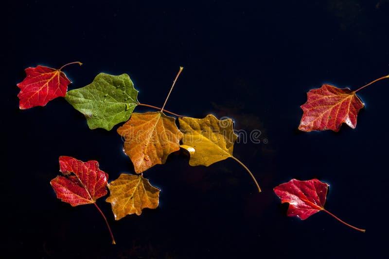 Röd leaf arkivfoto