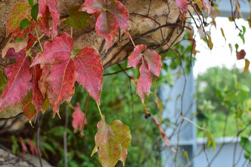 Röd leaf royaltyfria foton
