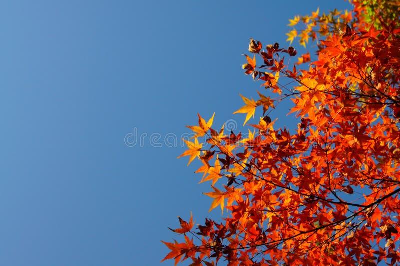 Röd leaf fotografering för bildbyråer