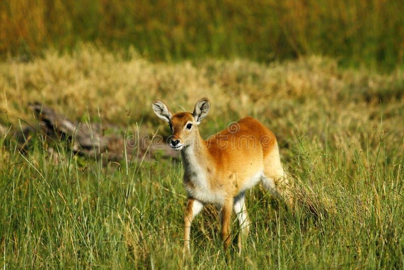 Röd Lechwe antilop arkivfoto