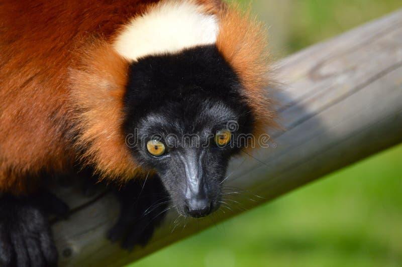 Röd lemur royaltyfri fotografi