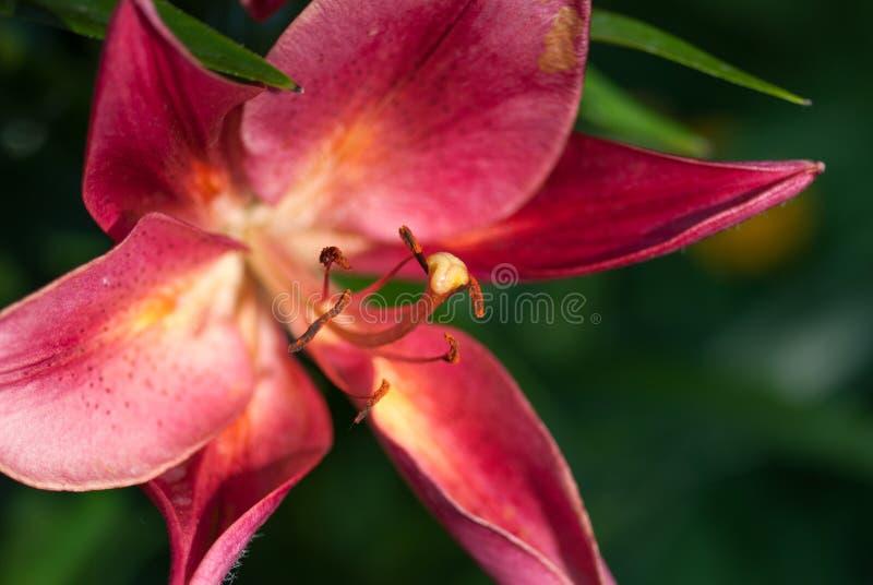 Röd liljablomma under ljust skott för makro för selektiv fokus för sol med grund DOF härlig tulpan för makrofjädertema fotografering för bildbyråer