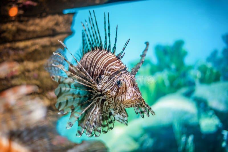 Röd lionfish för undervattens- värld, Asien arkivfoto