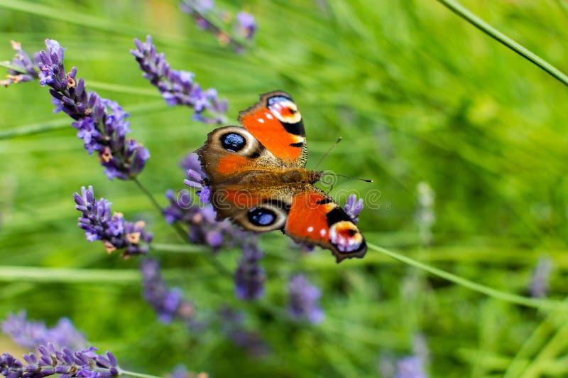 Download Röd Liten Sköldpadds- Fjäril Som Festar På Violett Lavendel Fotografering för Bildbyråer - Bild av fjäril, blodsugare: 78729313