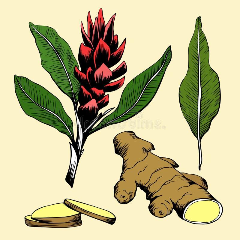 Röd ljust rödbrun blomma med gröna sidor och att rota vektor illustrationer