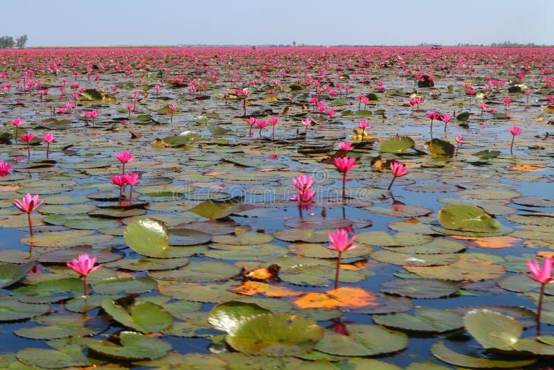 Röd Lotus sjö royaltyfria foton