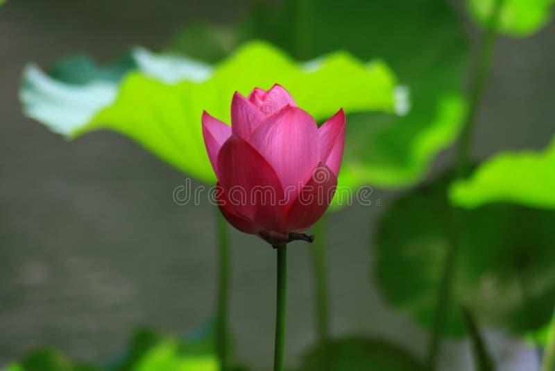Röd lotusblomma royaltyfri bild