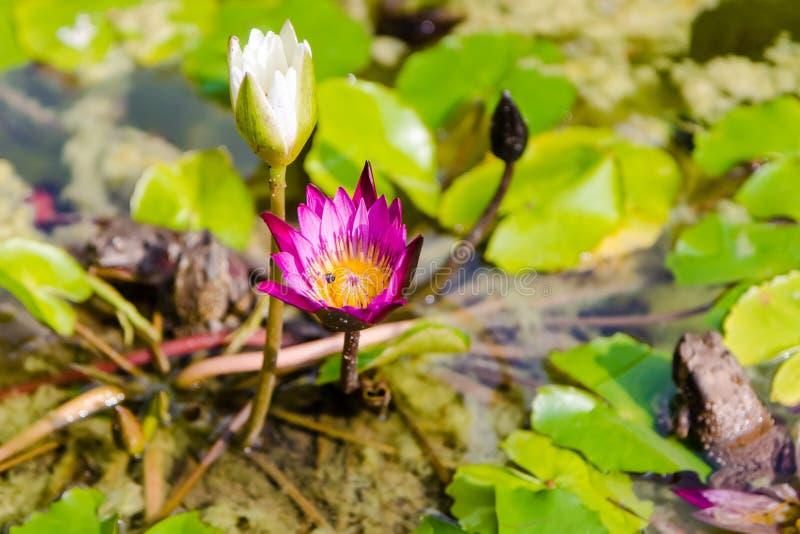 Röd lotusblomma på dammet arkivfoto