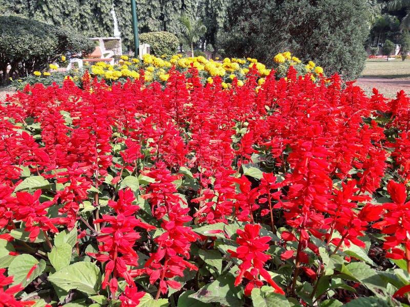 Röd lupinblomma med den gula trädgårdblomman arkivfoton