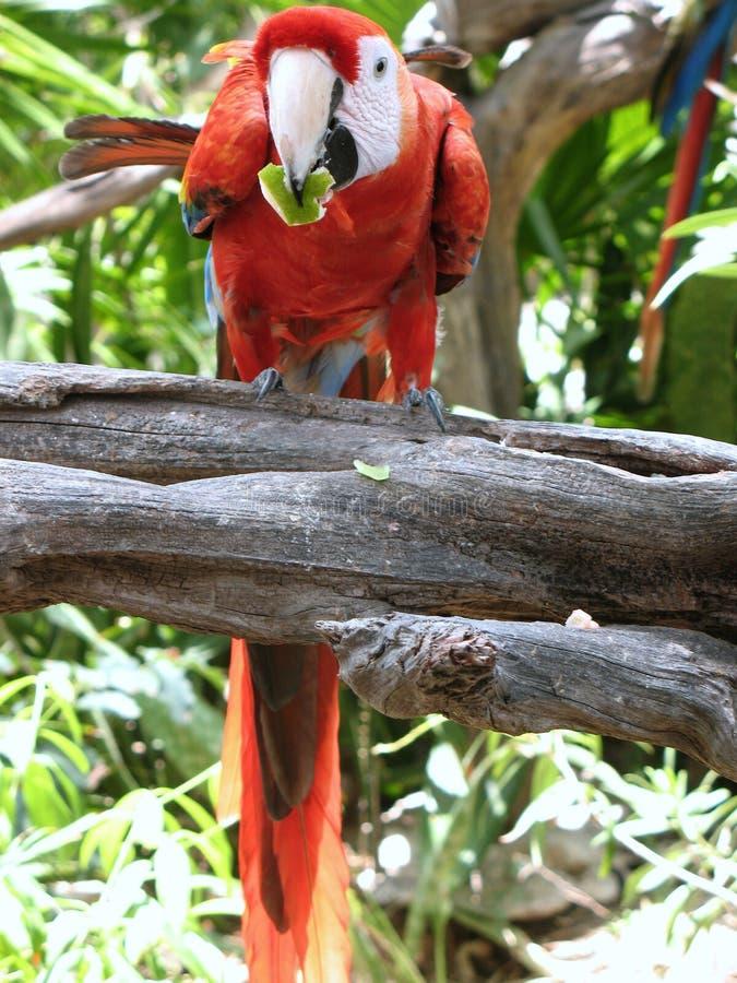 Röd Macaw royaltyfria foton