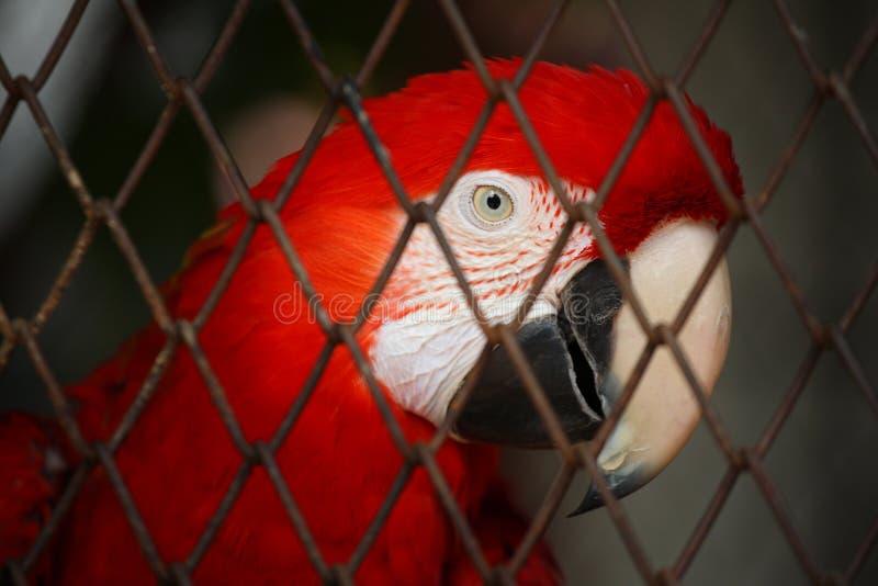 Röd Macaw i fågelbur royaltyfri bild