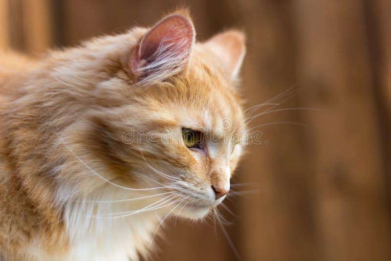 Röd Maine Coon i profil royaltyfri foto