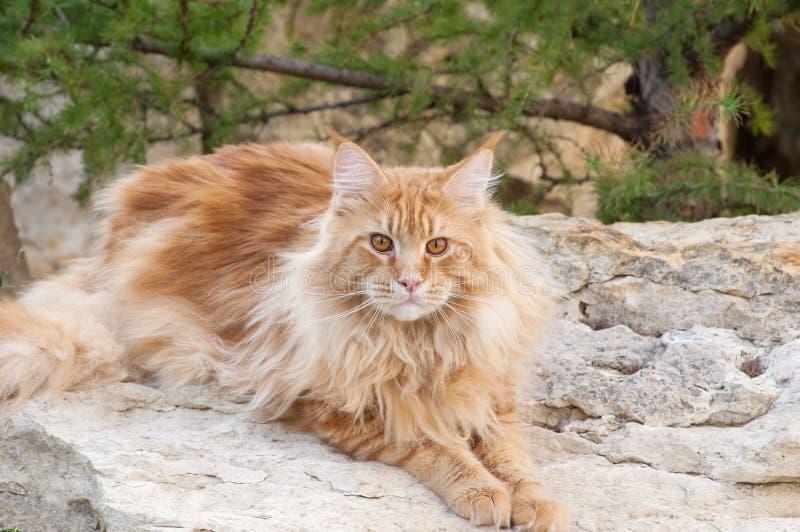 Röd Maine Coon kattstående arkivbild