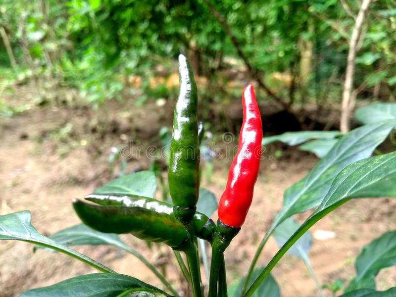 Röd makro för växt för chilifruktgrönsak arkivfoton